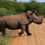 Enjoy Africa Tours Madikwe Rhino