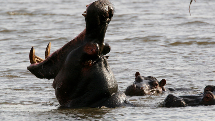 Enjoy Africa Tours Hippos