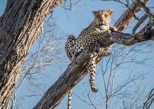 Enjoy Africa Tours Botswana Leopard