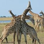 Enjoy Africa Tours Botswana Giraffes