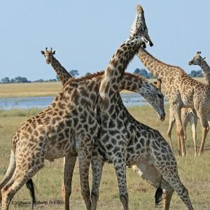 EWB Giraffes