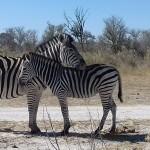 Enjoy Africa Tours Botswana Zebras