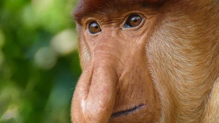 Enjoy Indonesia Tours Proboscis adult male monkey