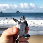 Enjoy Indonesia Tours Sukamade turtle release
