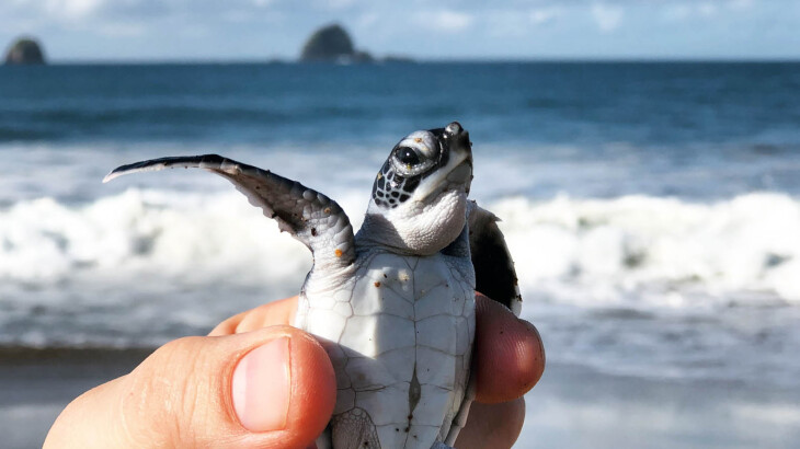 Enjoy Indonesia Tours Sukamade turtle release