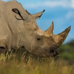 Enjoy Africa Tours KRS Rhino Bull