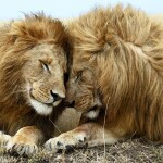 Enjoy Tours Limited Madikwe Lion Brothers