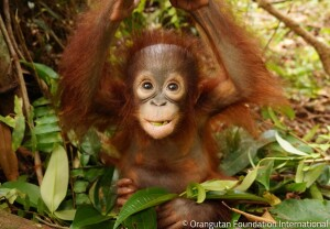 Enjoy Indonesia Tours Orangutan Baby