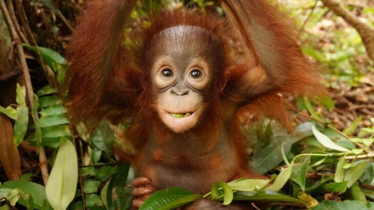 Enjoy Indonesia Tours Orangutan Baby